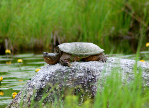 Snapping-Turtle-Adult